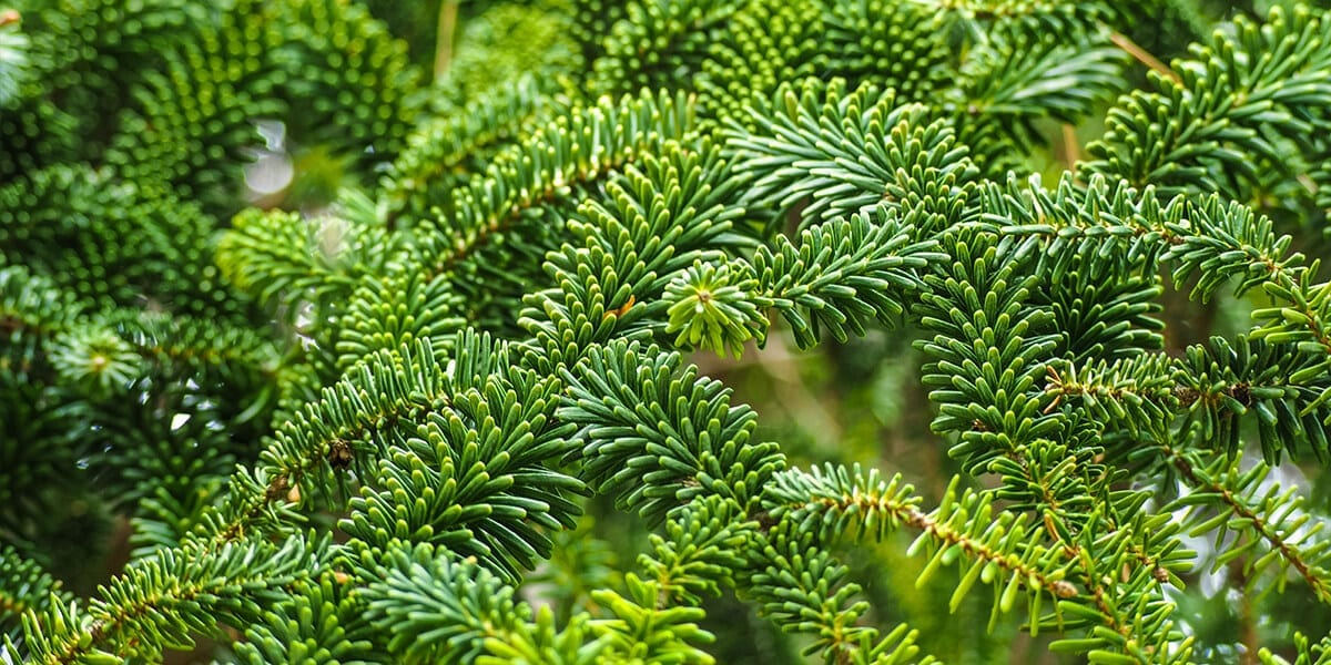 platt-hill-fresh-fraser-fir