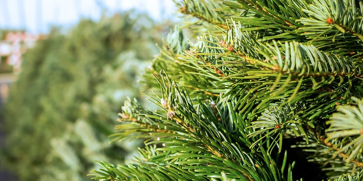 platt-hill-fresh-christmas-tree-in-lot