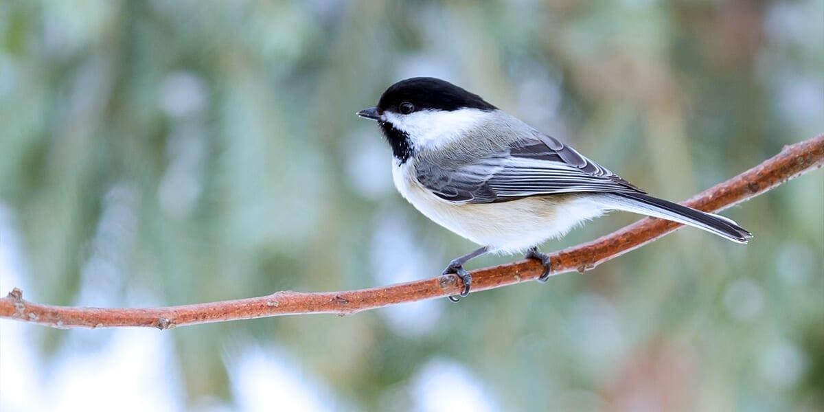 platt-hill-nursery-fall-to-winter-landscape-chickadee-on-branch