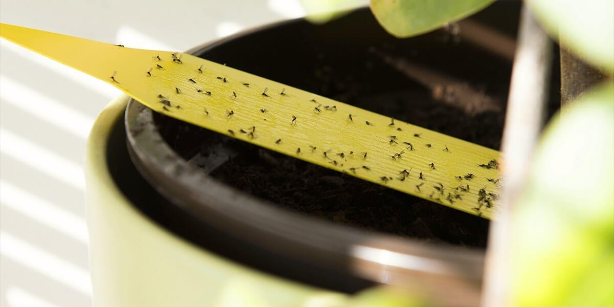 platt-hill-3-houseplant-pests-fungas-gnats