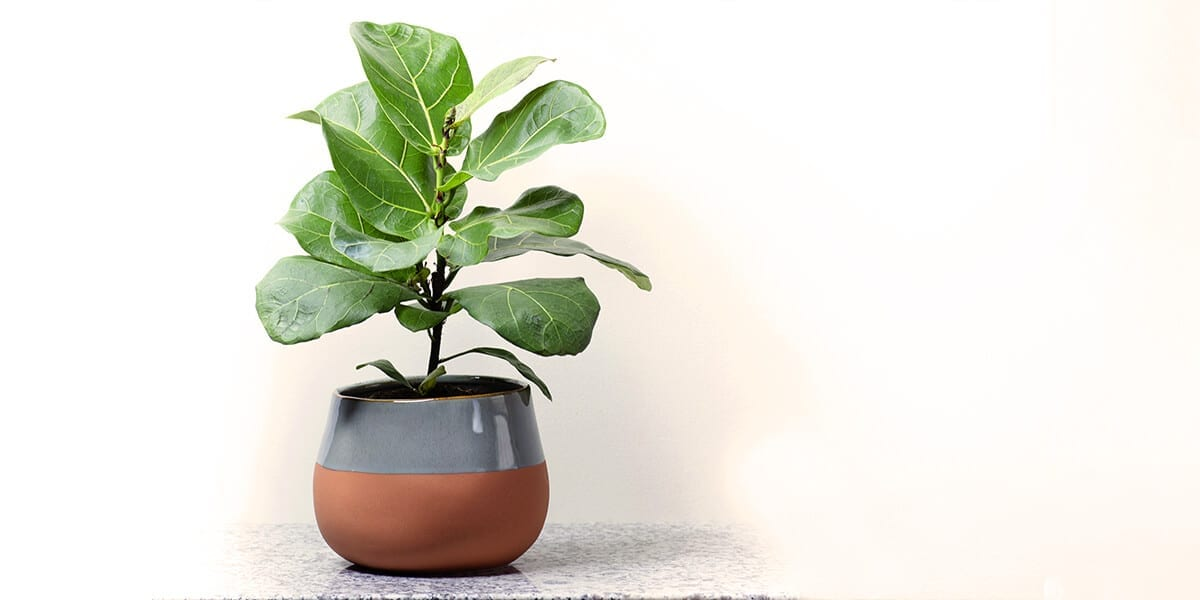 platt-hill-hottest-houseplants-2021-fiddle-leaf-fig