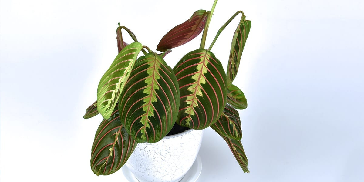 platt-hill-hottest-houseplants-2021-prayer-plant
