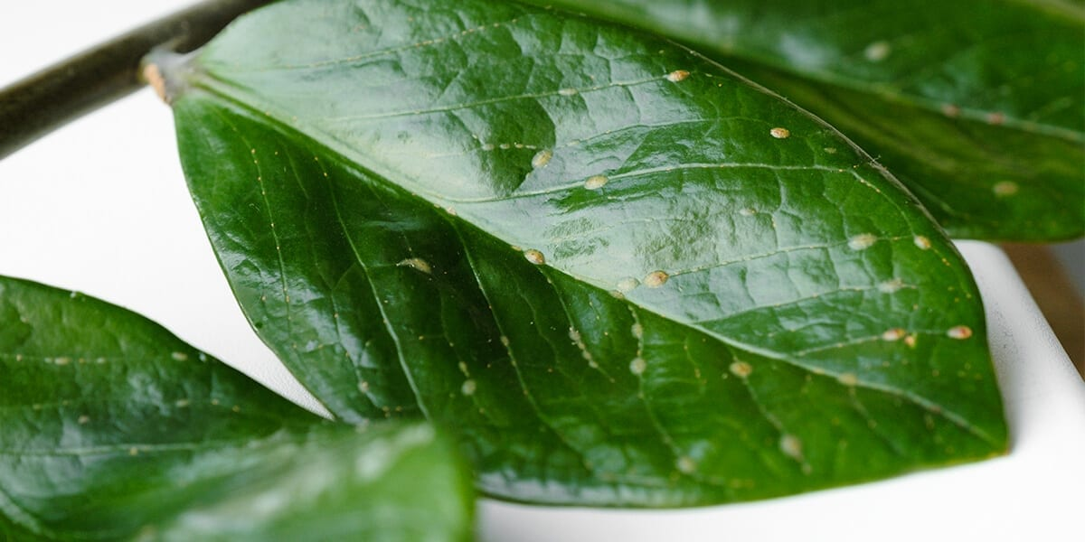 platt-hill-indoor-plant-pests-scale-insects-on-leaf