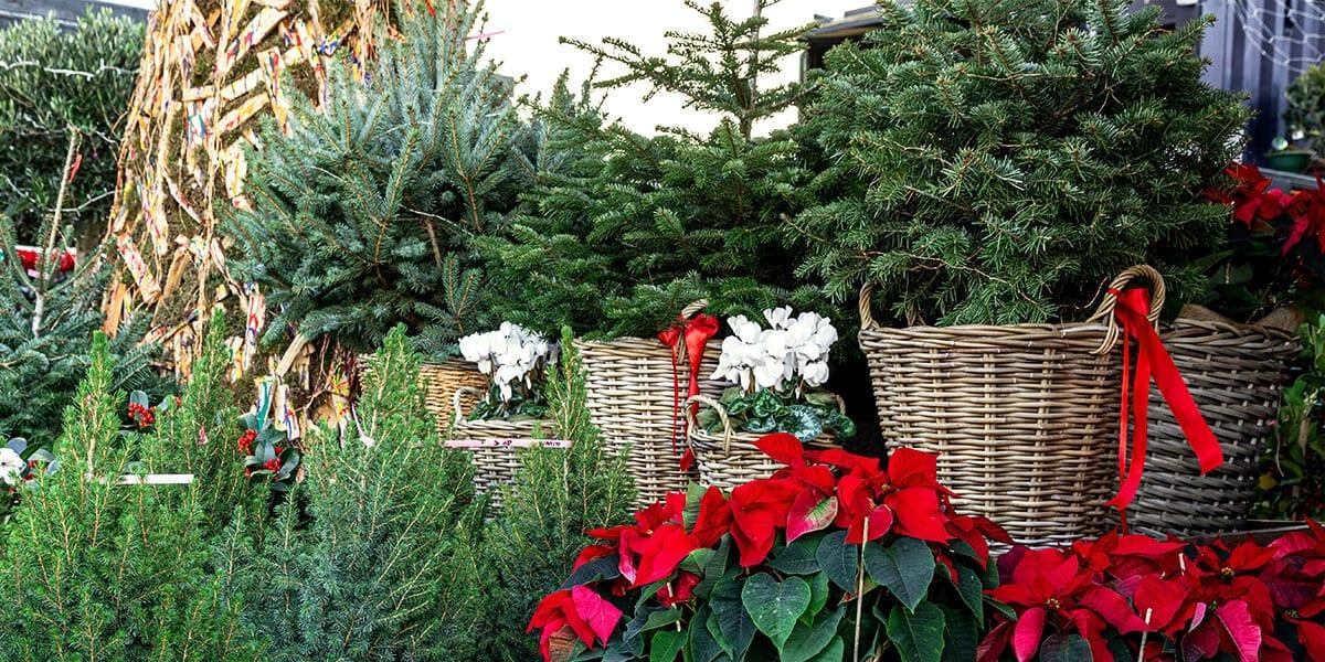 platt-hill-last-minute-gifts-evergreens-poinsettias