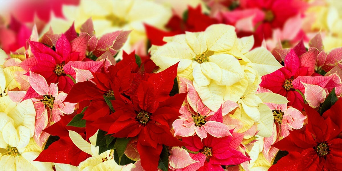 platt-hill-poinsettia-myths-poinsettia-red-gold-pink