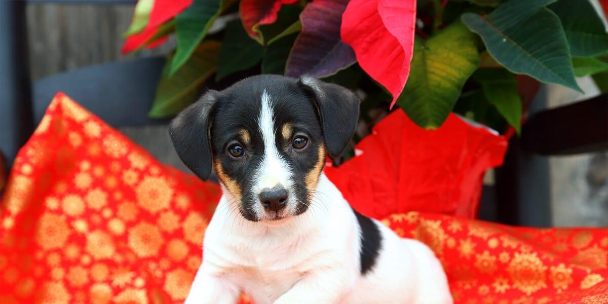 platt-hill-poinsettia-myths-puppy-with-poinsettia