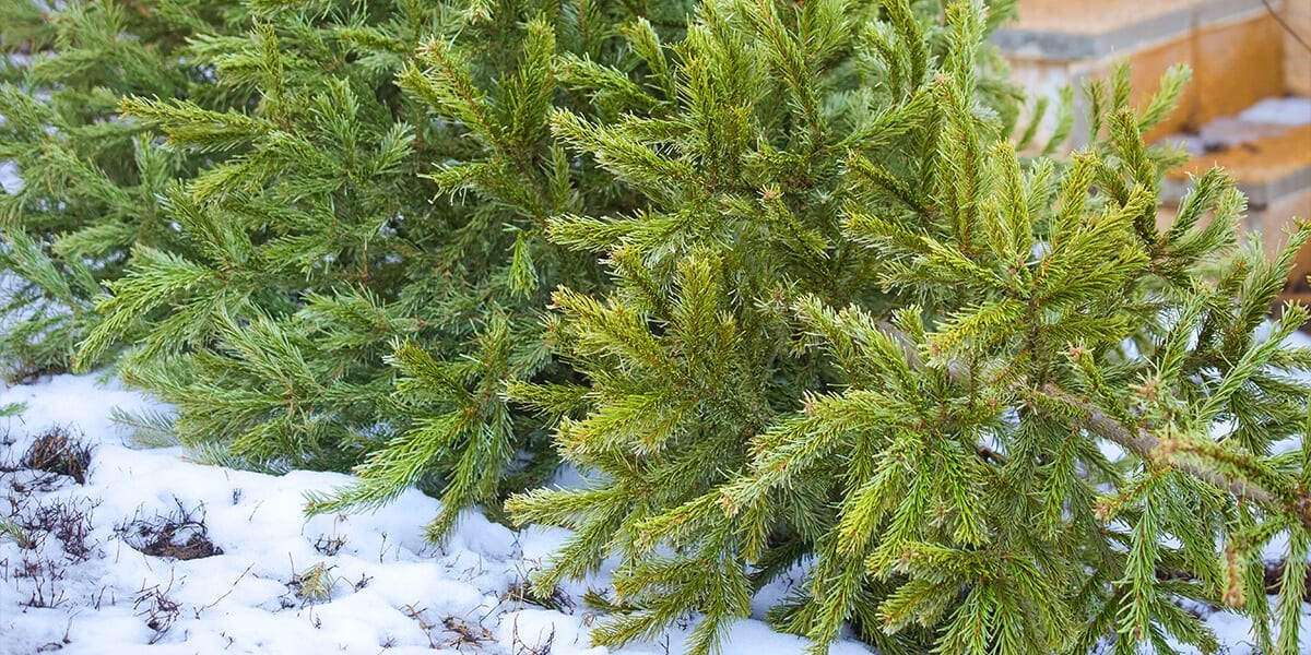 platt-hill-recycle-reuse-christmas-tree-discared-in-snow