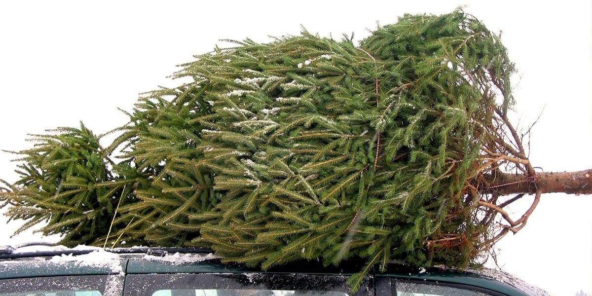 platt-hill-recycle-reuse-christmas-tree-on-car-roof