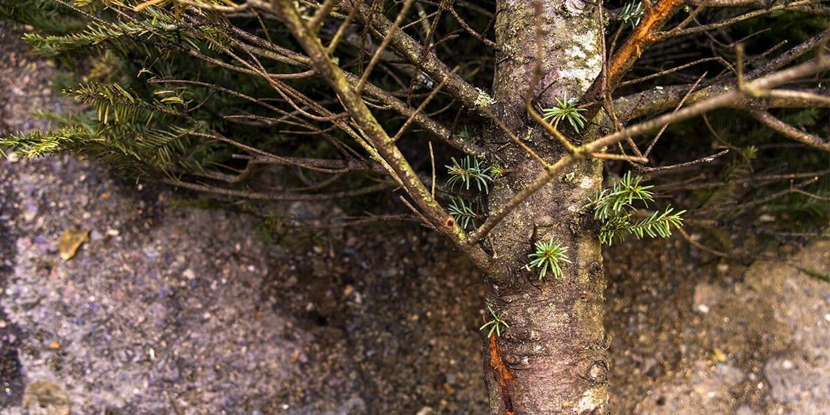 platt-hill-recycle-reuse-christmas-tree-trunk-up-close