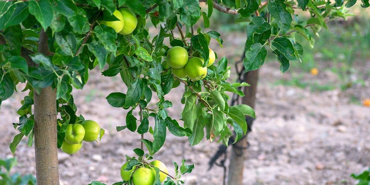 platt-hill-update-your-landscape-2021-apple-trees