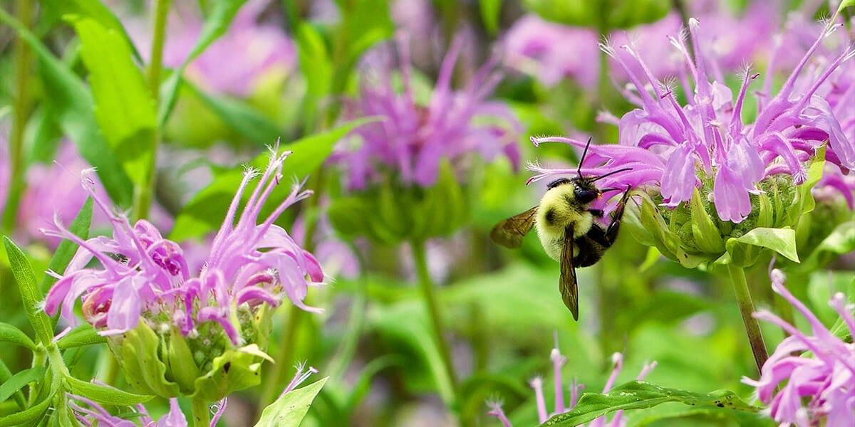 platt-hill-update-your-landscape-2021-bee-pollinator