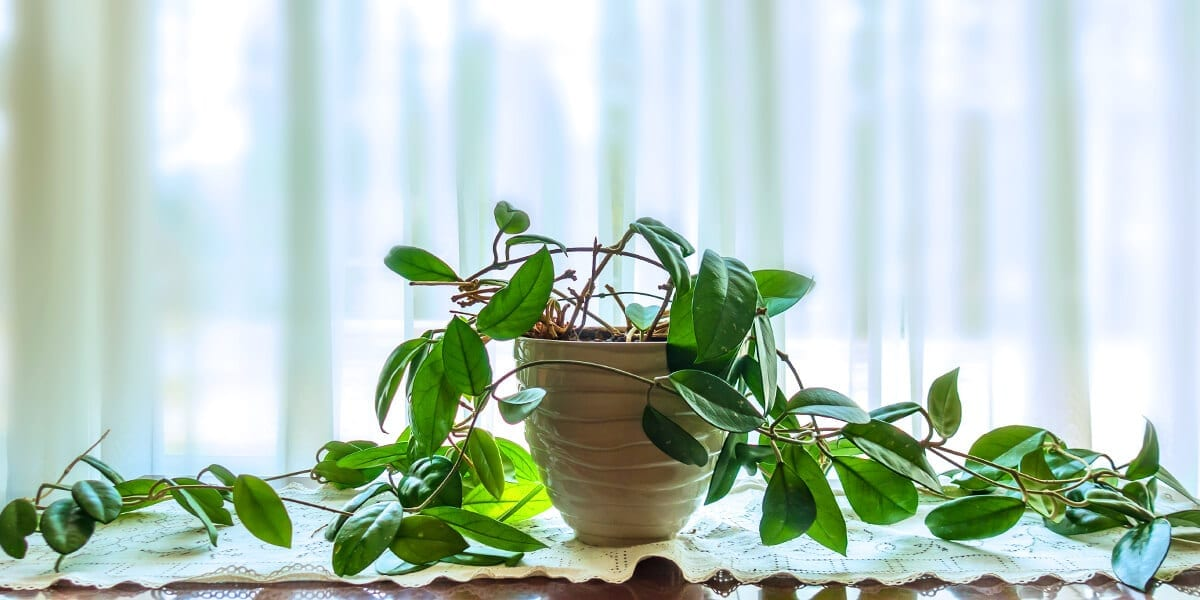 platt-hill-hoya-plant-care-hoya-plant-trailing-on-table