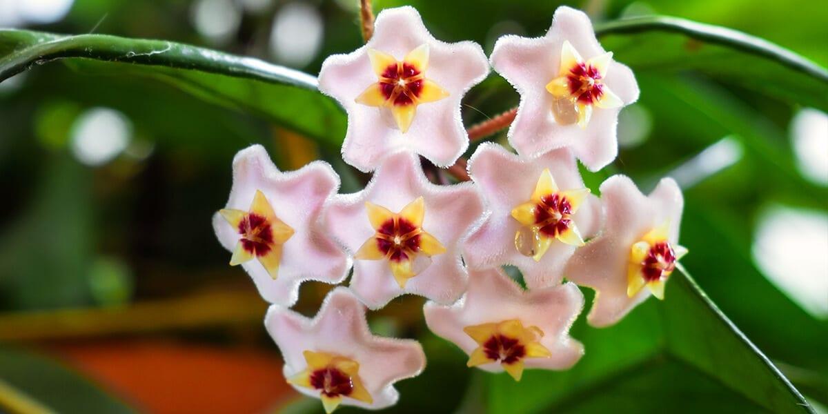 platt-hill-hoya-plant-care-pink-hoya-blooms-up-close