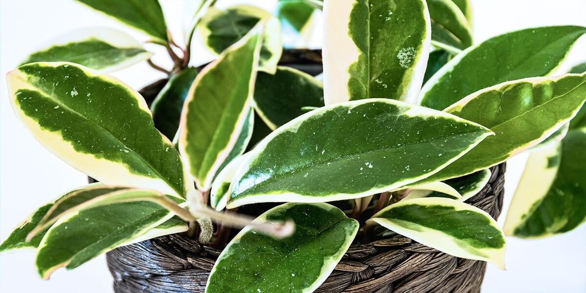 platt-hill-hoya-plant-care-veriagated-hoya-leaves
