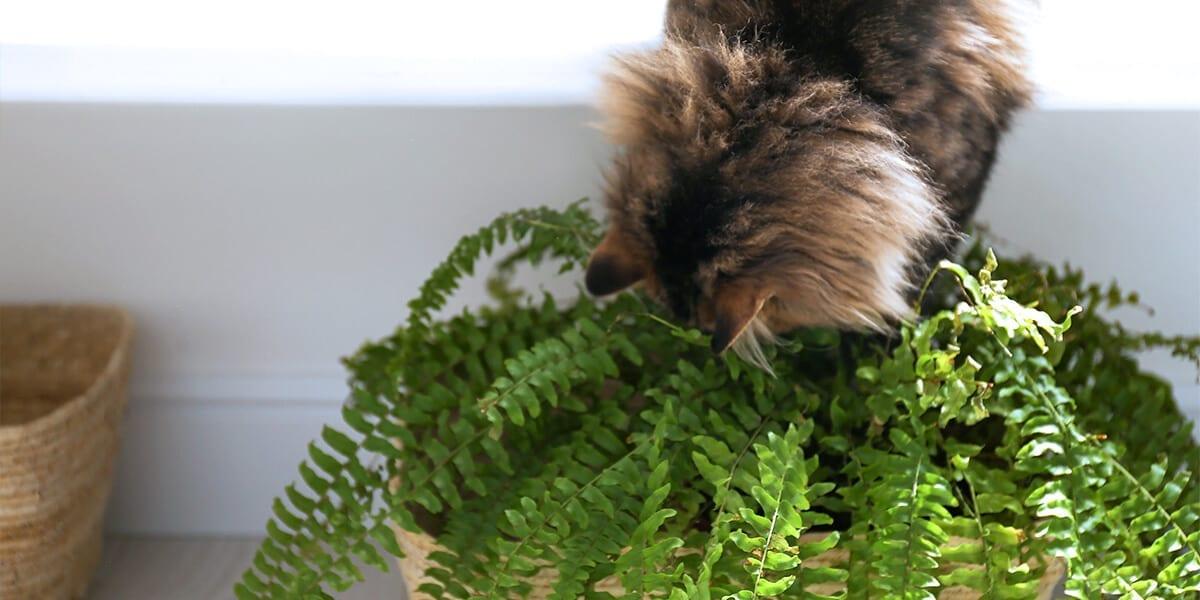 platt-hill-pet-safe-houseplants-cat-with-boston-fern