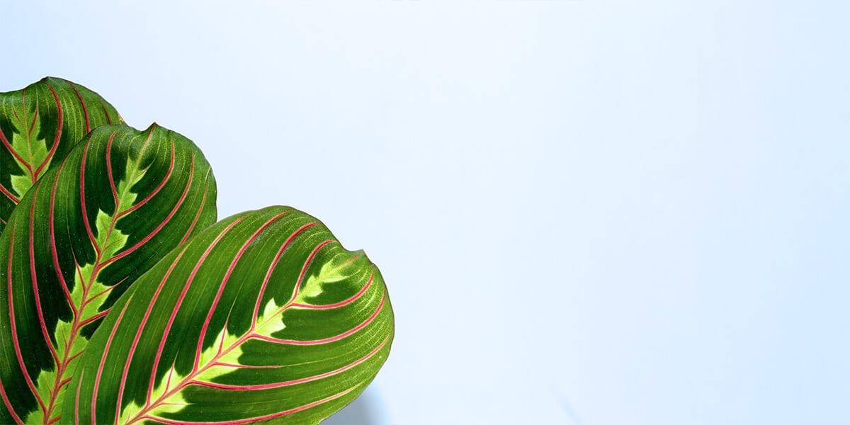 platt-hill-pet-safe-houseplants-prayer-plant-leaves