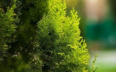 Emerald Green Arborvitae FAQs
