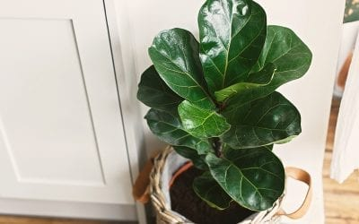 Ficus February: Our Five Favorite Figs