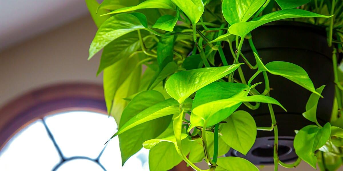 platt hill nursery plants for low light hanging pothos
