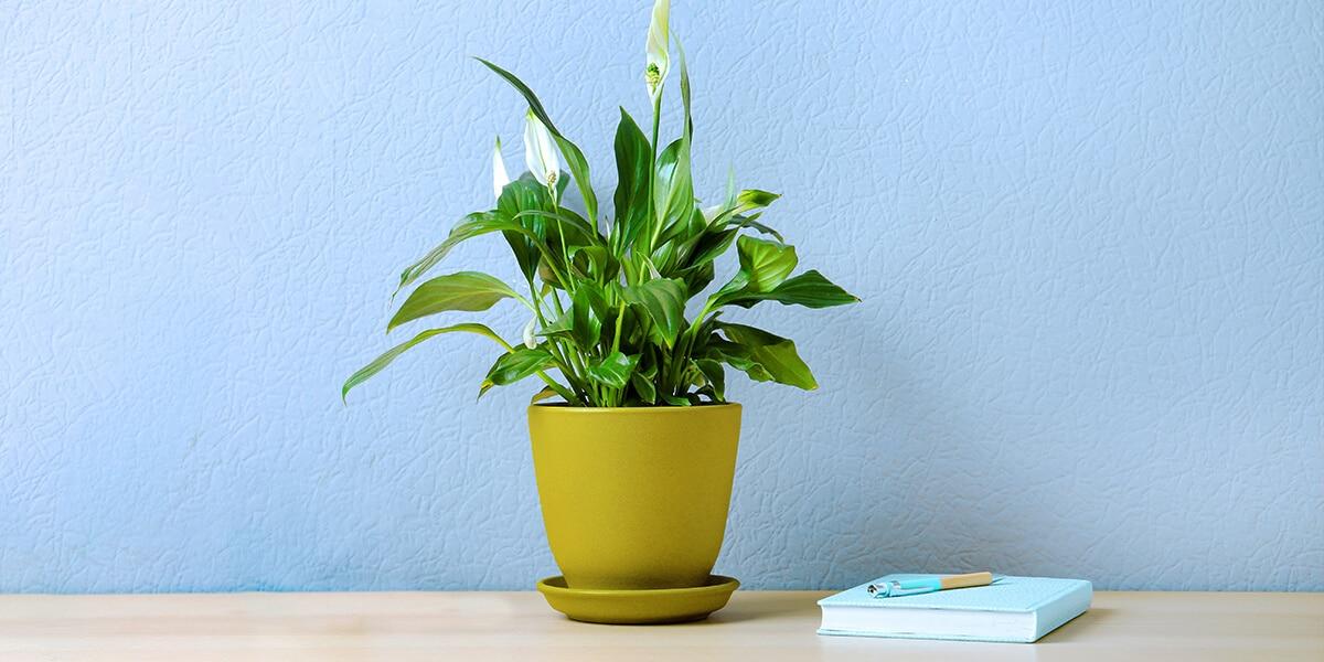 platt hill nursery plants for low light peace lily