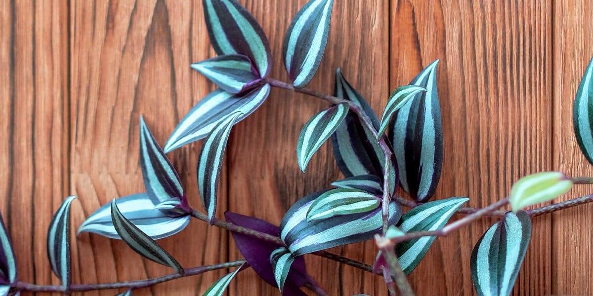 platt hill nursery plants for low light tradescantia white burgundy leaves