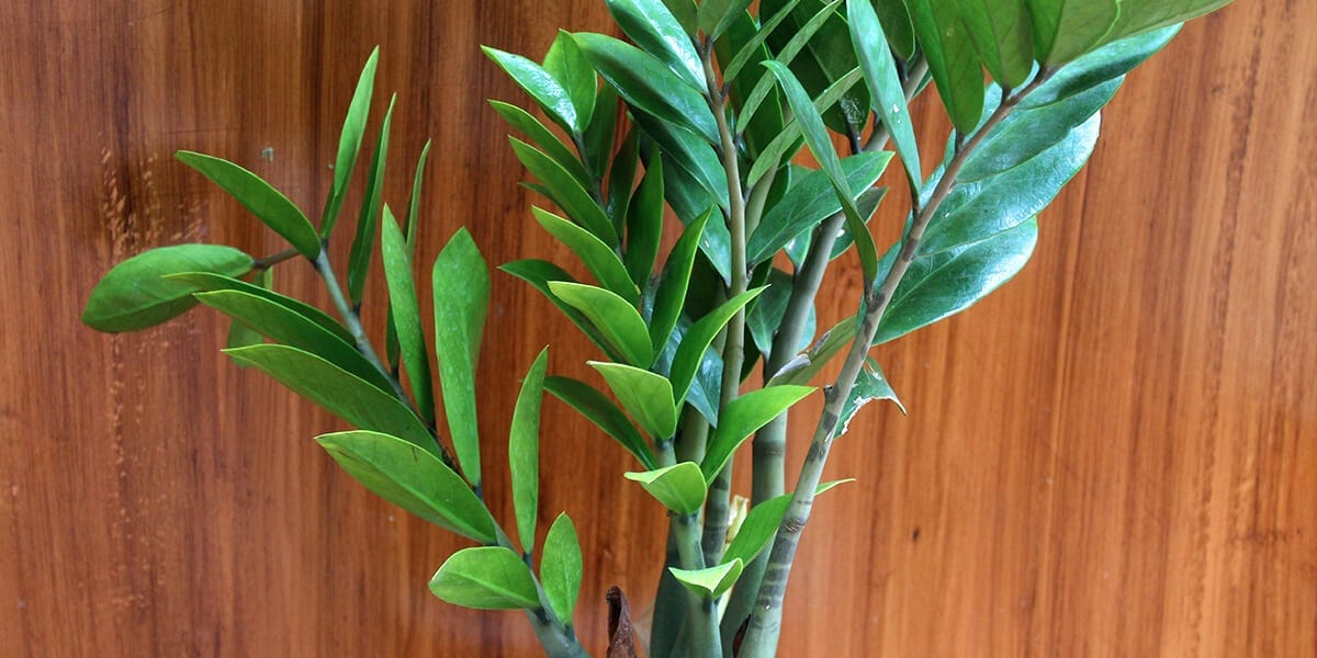 platt hill nursery plants for low light zz plant wood