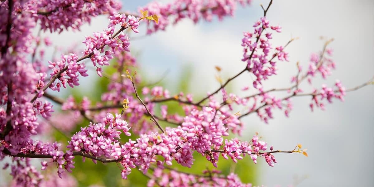 platt hill nursery the best spring flowering trees shrubs pink eastern redbud
