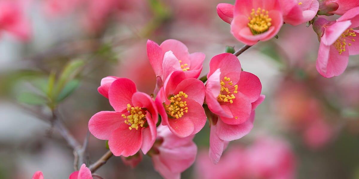 platt hill nursery the best spring flowering trees shrubs pink flowering quince