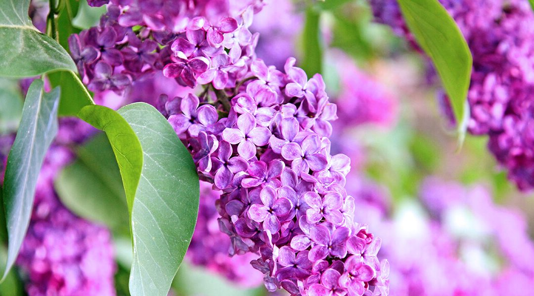 The Best Spring-Flowering Trees and Shrubs for the Midwest