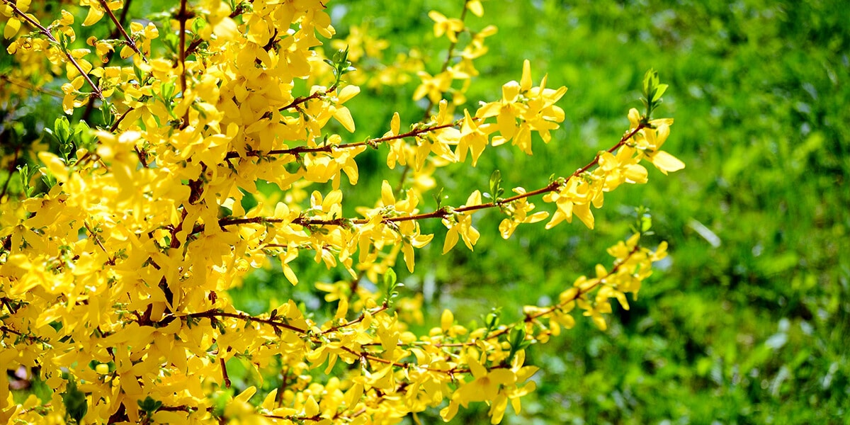 platt hill nursery the best spring flowering trees shrubs yellow forsythia