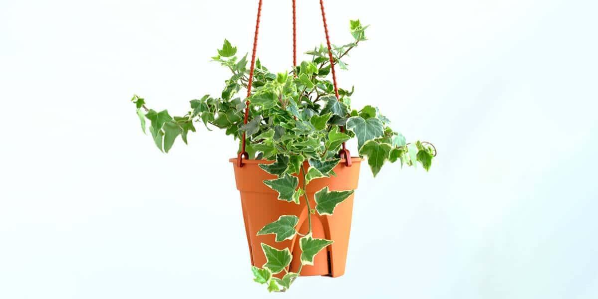 platt hill nursery trailing houseplants hanging baskets english ivy