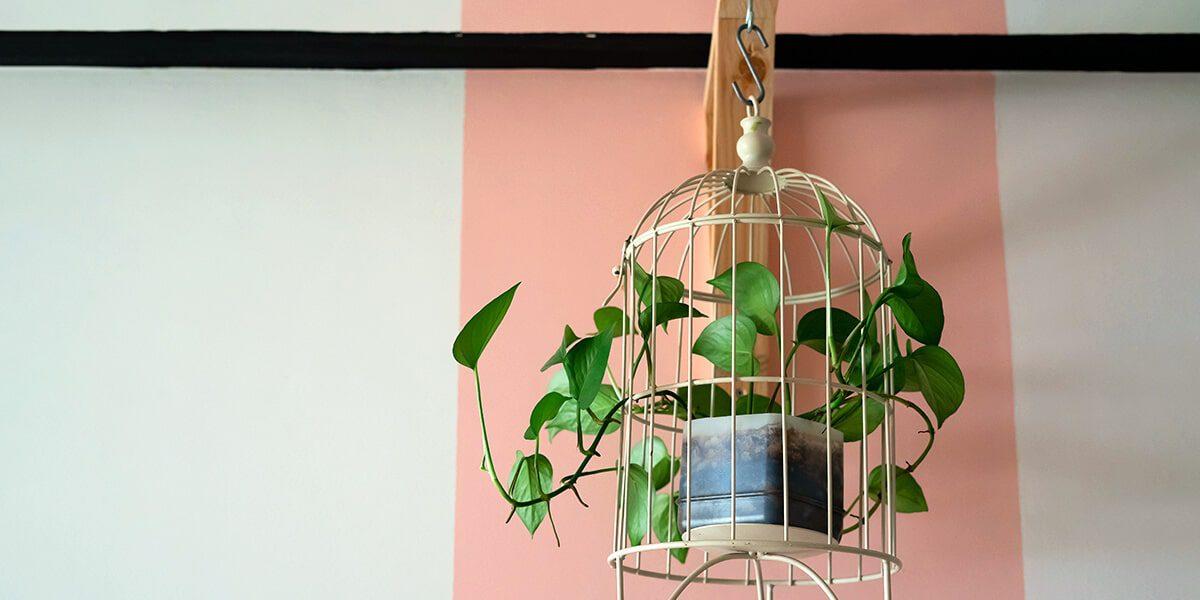 platt hill nursery trailing houseplants hanging baskets heartleaf philodendron in birdcage