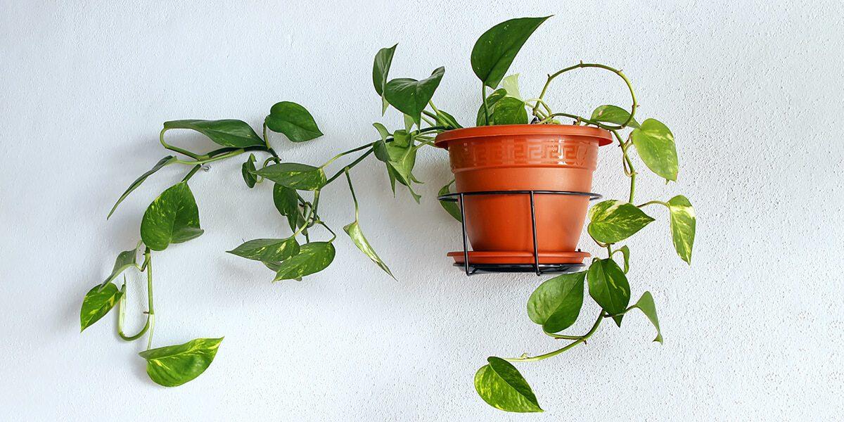 platt hill nursery trailing houseplants hanging baskets spider plant golden pothos