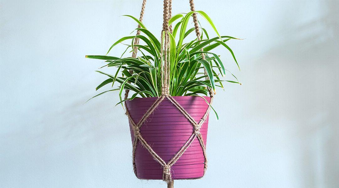platt hill nursery trailing houseplants hanging baskets spider plant purple pot