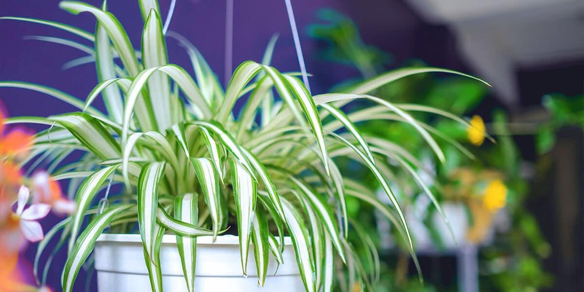 platt hill nursery trailing houseplants hanging baskets spider plant