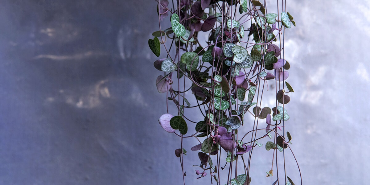 platt hill nursery trailing houseplants hanging baskets string of hearts