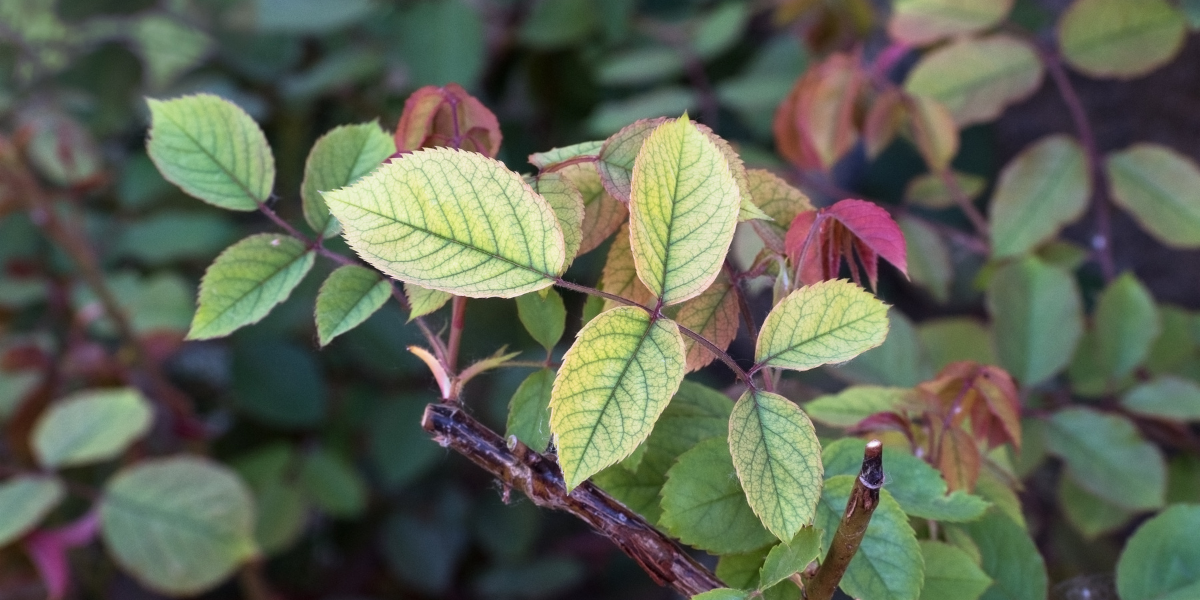 close up of leafs that are vibrant in color but have chlorosis platt hill nursery