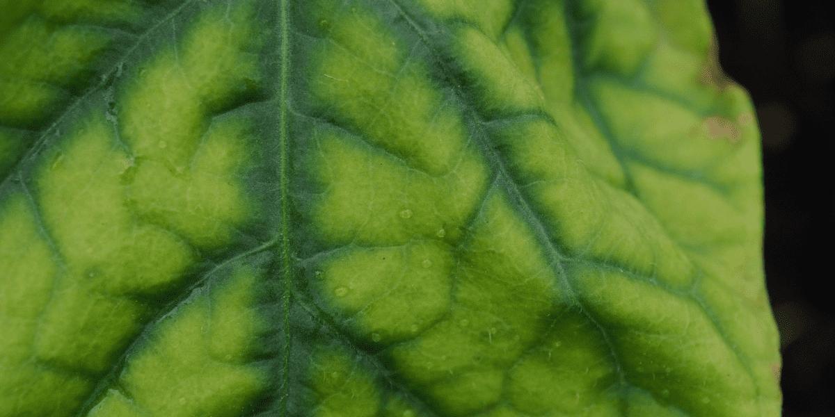 close up of a tomato plant leaf with iron chlorosis platt hill nursery