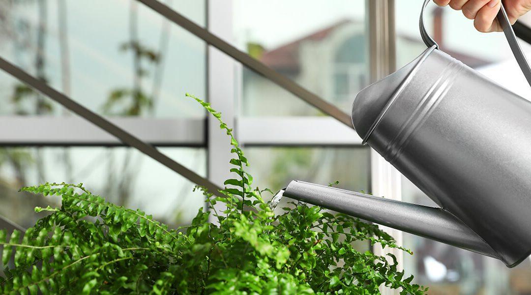platt hill nursery basics of watering boston fern houseplant