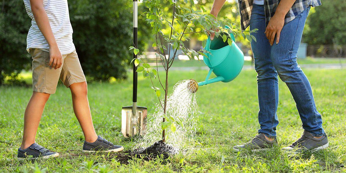 platt hill nursery basics of watering sapling tree
