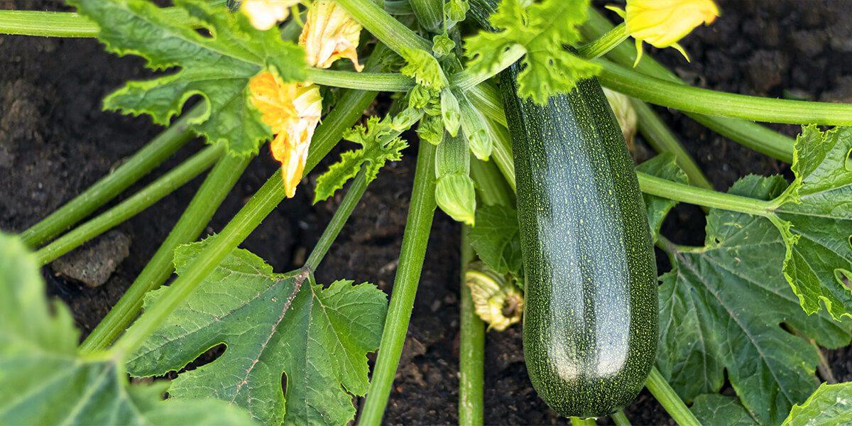 platt hill nursery gardening hacks for beginners cucumber plant