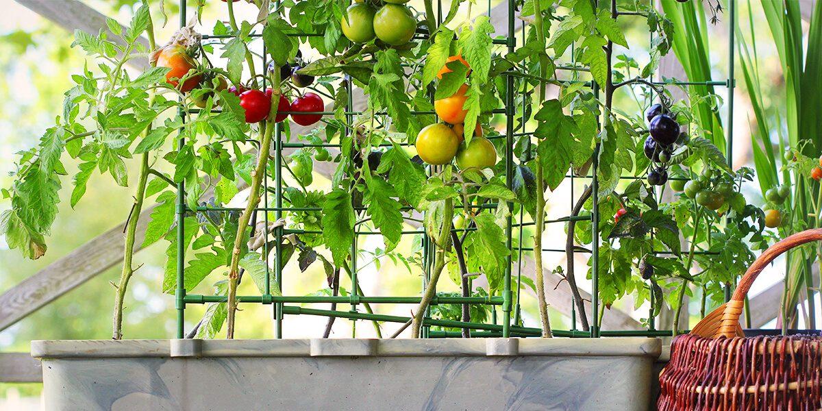 platt hill vegetable gardening beginners staked tomato plants in planters