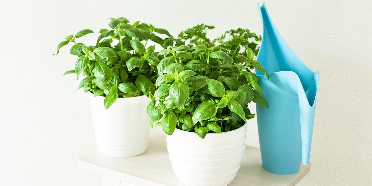 platt hill nursery indoor kitchen herb garden potted basil indoors with water jug