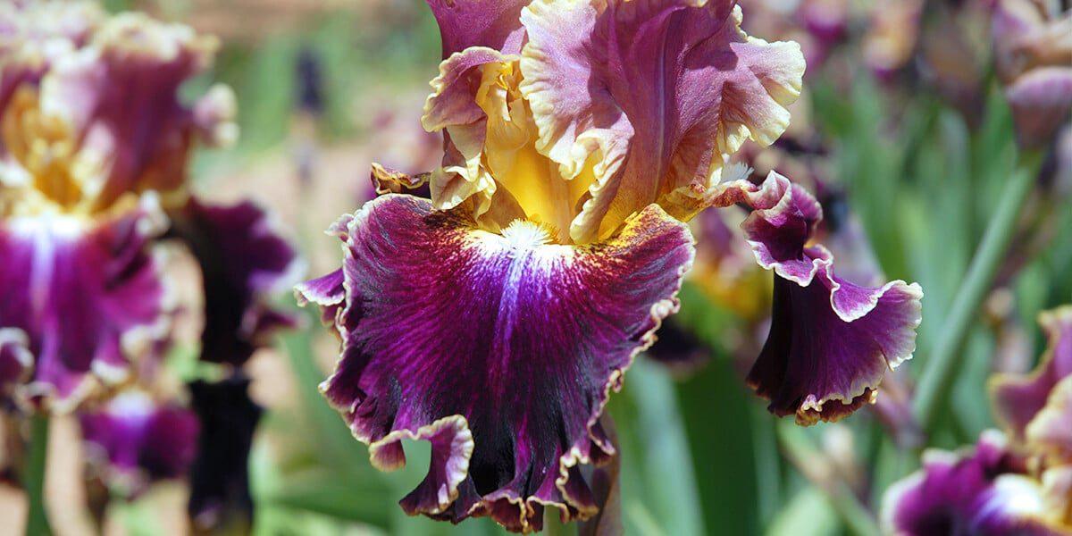 platt hill top perennials for full sun bearded iris