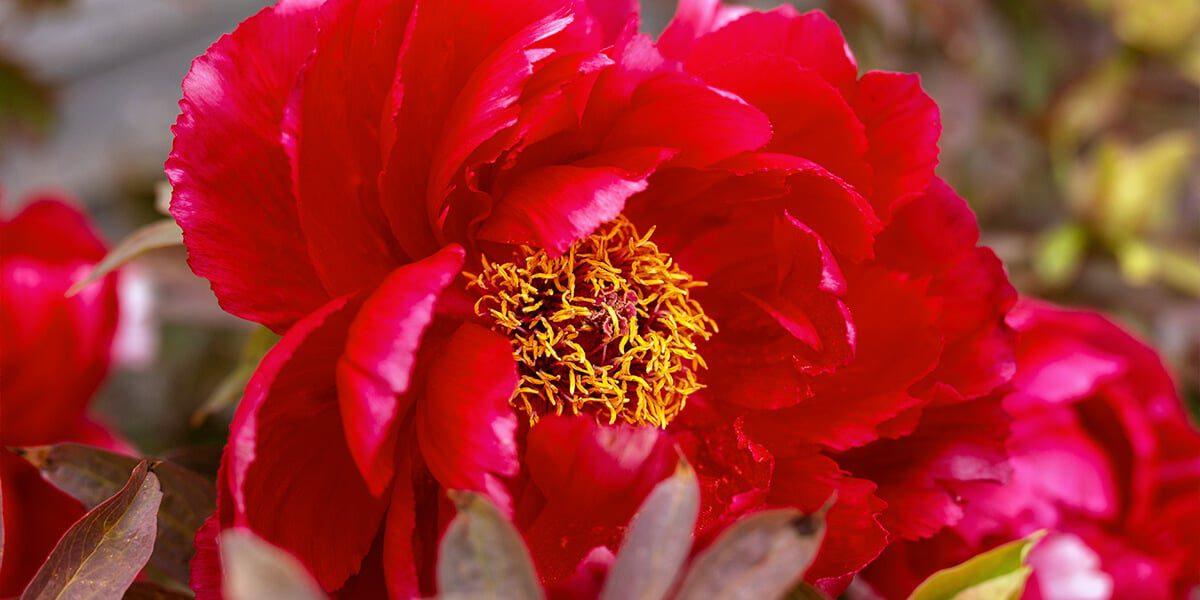 platt hill top perennials for full sun red peony