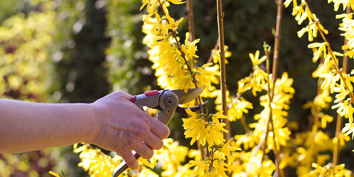 platt hill zone 5 garden checklist pruning yellow forsythia
