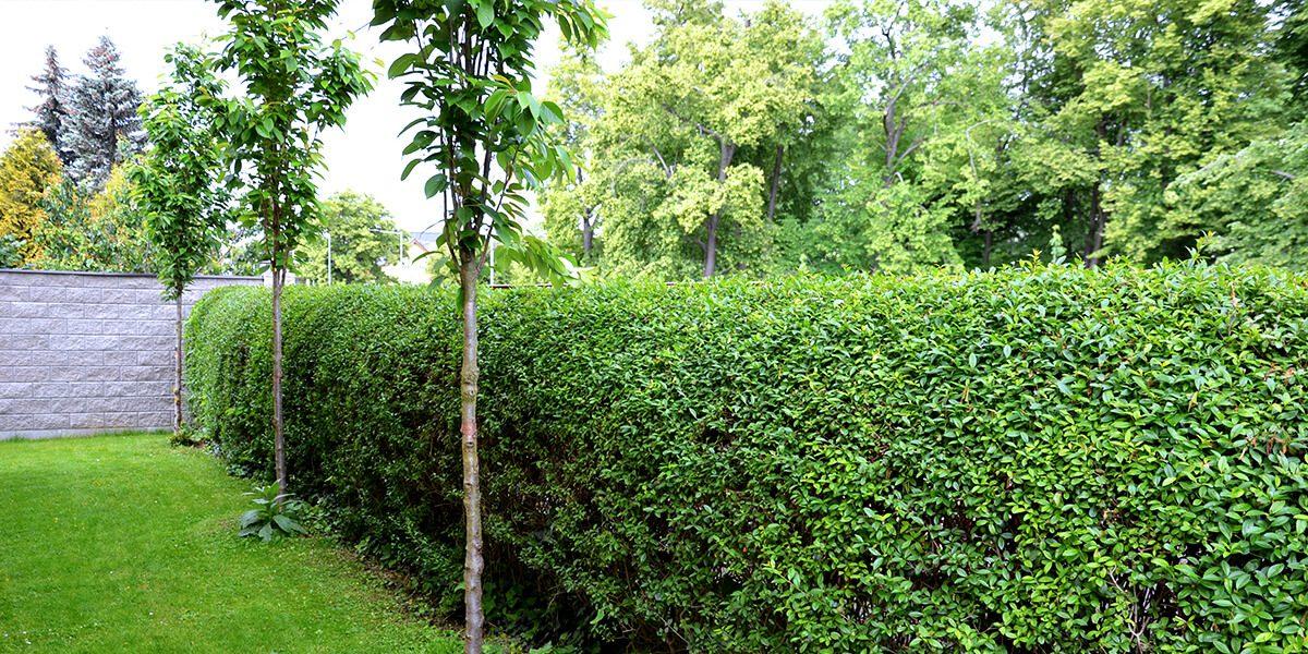 platt hill garden shrubs for privacy cheyenne common hedge