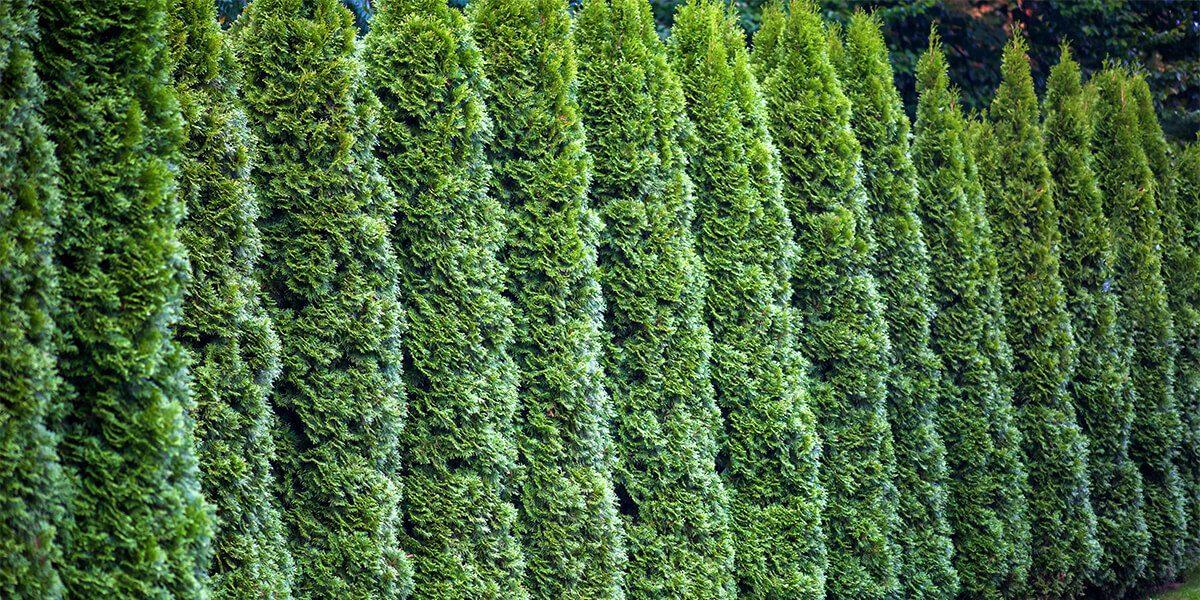 platt hill garden shrubs for privacy row of arborvitae