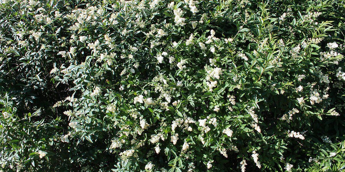 platt hill garden shrubs for privacy straight talk privet white blooms