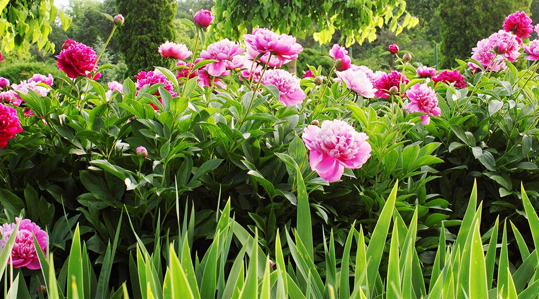A Guide to Growing Prolific Peonies